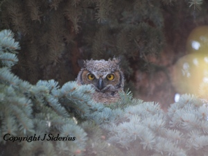Young Great Horned Owl watching me