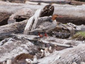 Is this female common merganser near a nest?
