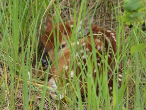 White-tailed deer fawn in the grass, waiting for the doe to come back.