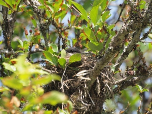 Eastern Kingbird on the Nest