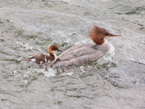 A female common merganser and her chick: looking for a ride?