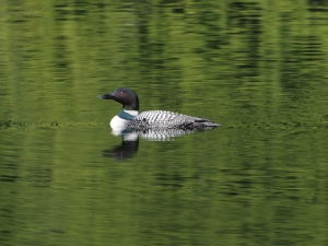A Common Loon on a mountain lake