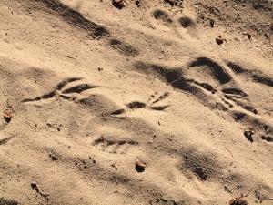 Raven tracks in sand