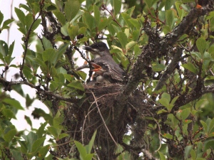 Eastern Kingbird and Young on the Nest