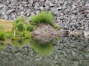 A beaver lodge in a small pond