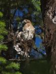 Young Cooper's Hawk
