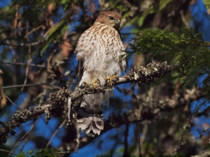 Ready to go - a young Cooper's Hawk just before the birds leave the area in fall