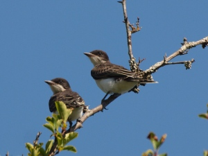 Two Eastern Kingbird Fledglings