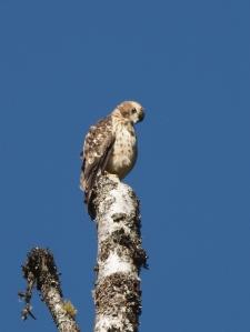 Broad-winged Hawk fledgling