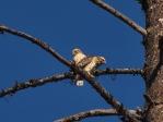 Broad-winged Hawk Fledglings