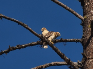 Two Broad-winged Hawk fledglings