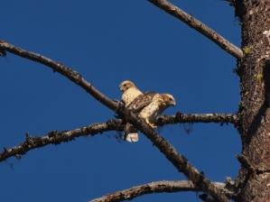 Two Broad-winged Hawk fledglings