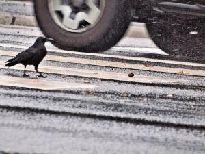 Crow with hazelnut on the crosswalk