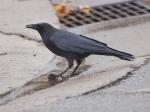 Crow with hazelnut