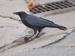 Crow with hazelnut