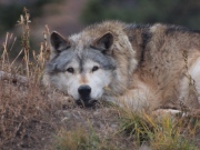 A captive grey wolf