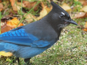 Steller's Jay in autumn