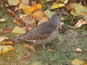A female Northern Flicker