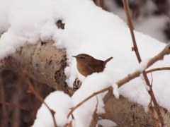 A Winter Wren in winter