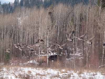 Nervous geese leaving a feeding ground - watched by a bald eagle