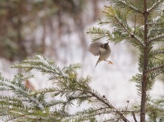 A Golden-crowned Kinglet foraging