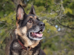 Male German Shepherd at 10 years old