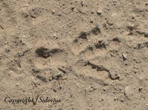 solitary Raven track