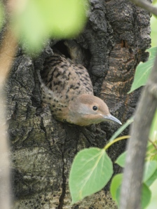 A Northern Flicker young ready to fledge