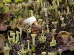 A snail in its lichenforest
