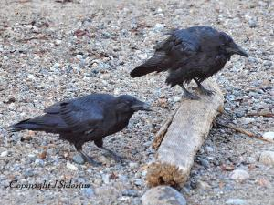 two young Ravens.  One is playing with a stick