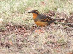 Female Varied Thrush April 2011