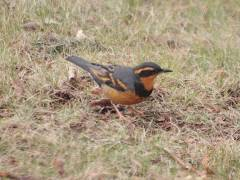 Male Varied Thrush April 2011