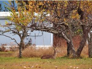 Old white-tailed deer resting in an apple orchard