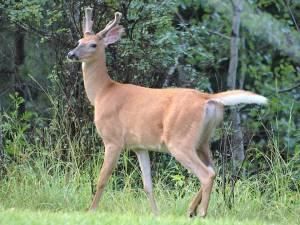 Young white-tailed deer buck