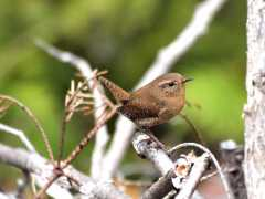 A Winter Wren in spring