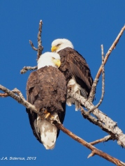 Bald Eagle pair at the nest
