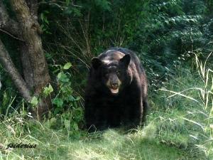 Black Bear (paint effect)