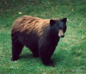 old photo of brown phase black bear