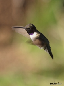hovering Black-chinned Hummingbird male