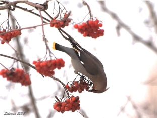 Bohemian Waxwing feeding on Mountain Ash berries