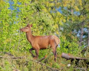 Young Bull Elk