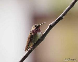 Calliope Hummingbird Male