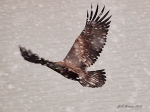 Eagle in thesnow