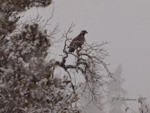Young Bald Eagle waiting out the snow