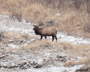 Bull Elk on the Slocan River