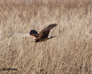 Harrier scouring the marshes for prey