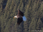 Bald Eagle inflight