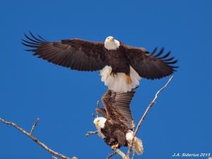 Nesting Bald Eagles