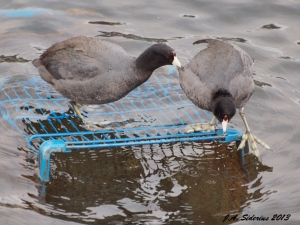 American Coots commandeering a submerged shopping cart