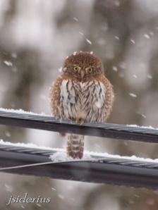 Pygmy Owl on powerline